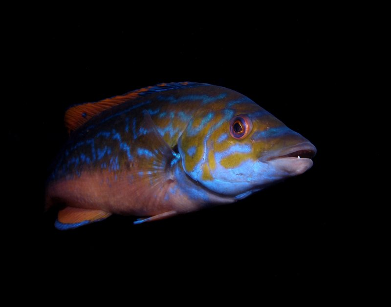 lippfisch.jpg