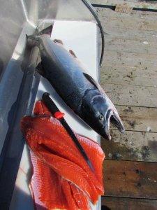 Viel Fischgeschwindigkeit durch Vancouver