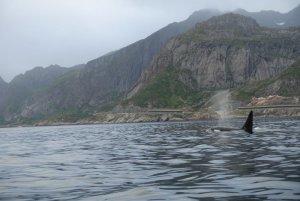 Orca Vestfjord 2.JPG