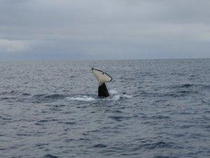 Orca Vestfjord 3.JPG