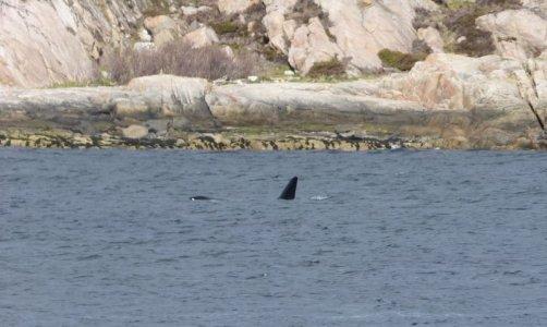 Orca-Bulle.JPG