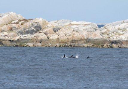 3 Orcas auf einem Bild.JPG